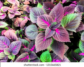 Background of Coleus (Painted nettle)  plant , other name Solenostemon scutellarioides