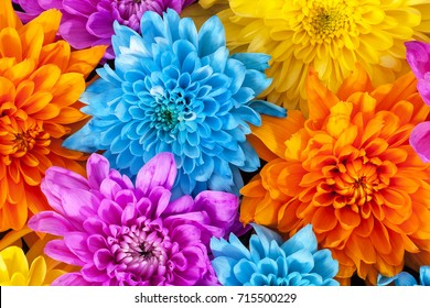 Background of colorful chrysanthemum flowers, blue, pink, yellow, orange, close up