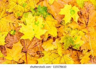 Background of colorful fallen maple leaves.
