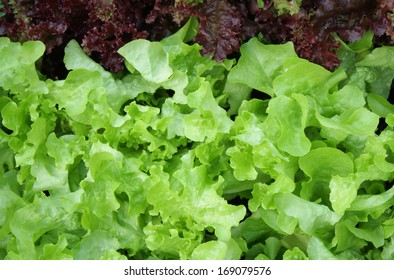 background of colorful of lettuce