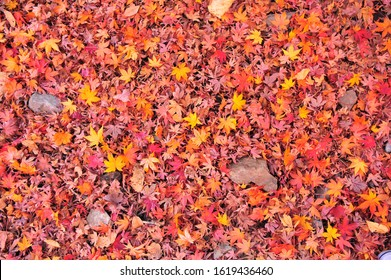 Background of Colorful Maple Leaves Carpet in The Park During Autumn