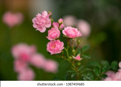 Background with colorful roses brilliant in my garden for special days