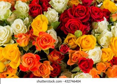 background colorful shrub rose