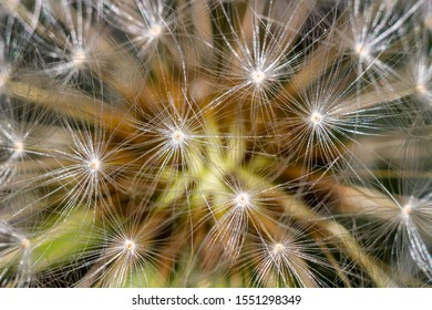 Background from common dandelion (Taraxacum officinale) seeds close-up