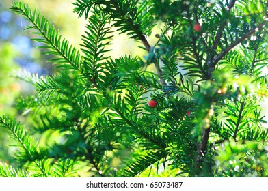 Background of coniferous branches with red berries