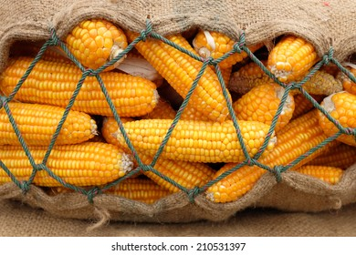 background of corn in sack after harvest field