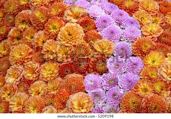 Background of dahlias
