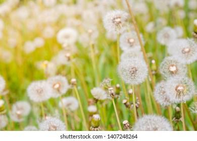 Background with Dandelion, Taraxacum, blowball