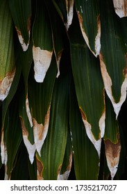 Background of dark and dry leaves of tropical tree