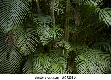 Background of dark green palm fronds in tropical Brazilian jungle