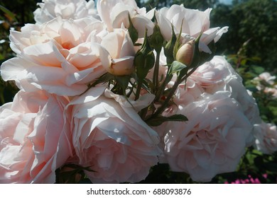 Background of delicate roses of tender color