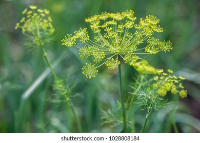 Background with dill umbrella closeup. Garden plant. Fragrant dill on the garden in the garden