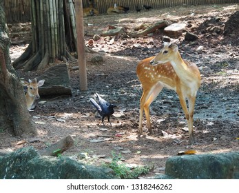 Background Eld's Deer waking on the ground with the crow in the zoo.