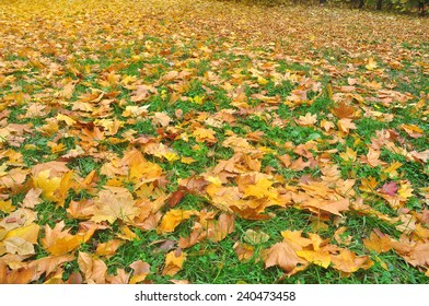 The background of the fallen autumn leaves. A carpet of bright leaves in October under your feet.