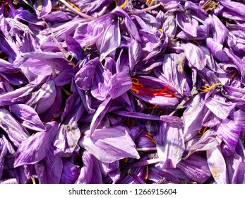 Background of fallen petals of crocus flowers, from which saffron is obtained.