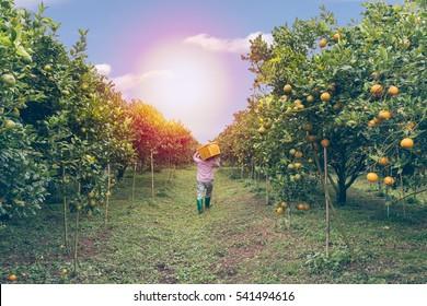 background Farmer harvesting oranges