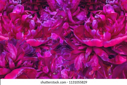 background filled with close up view of magenta peonies in bloom