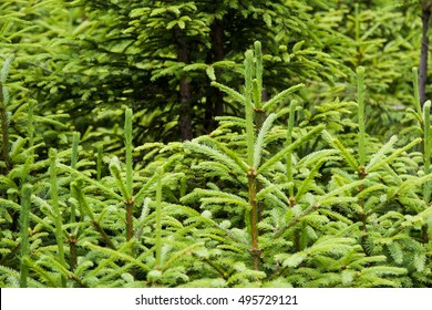 Background of fir tree branches