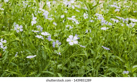 Background, flax flowers. Flax field, flax blooming, field, sowing, agriculture, panorama. The concept of a rich harvest. Save the earth and nature for posterity. Selective focus, copy space.