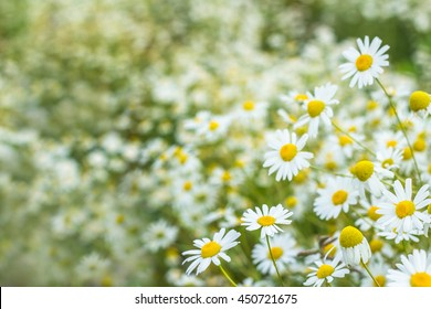 background of flowers field of daisies.