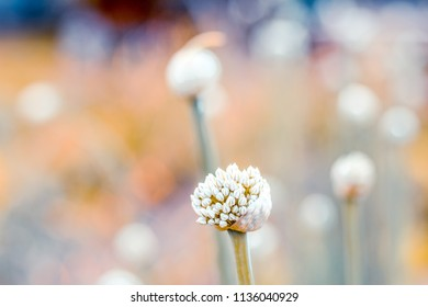 Background of flowers onions