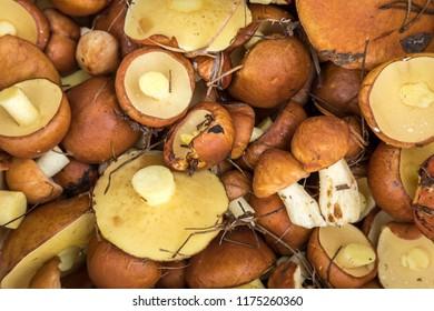 background of forest mushrooms, boletus