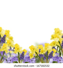Background with fresh daffodils and muscaries. Abstract flowers background. Easter background.