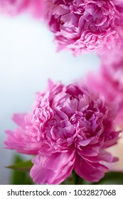 Background of fresh pink peonies