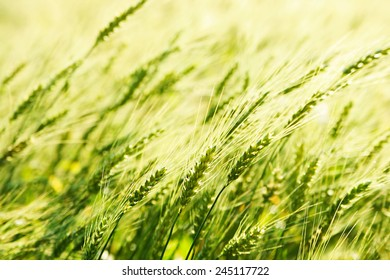 Background of fresh spring Green yellow wheat field ears close up with shallow depth Nature backdrop