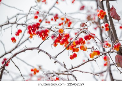 the background frozen winter branches in the ice, winter berrie