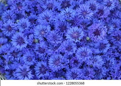 Background full of blue cornflowers in midsummer