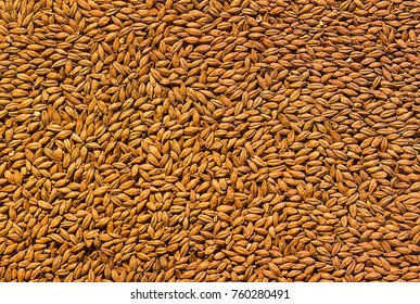 background grain barley, malt ingredient base cooking beer, texture of hopped golden grain