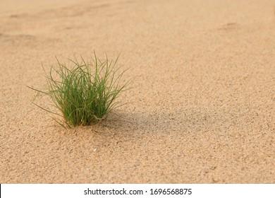 background Grass in the desert