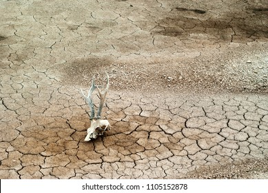 background - gray dry dead cracked desert soil with animal skull in the foreground