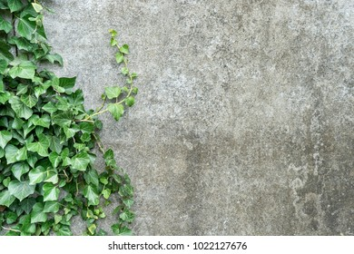 Background with gray plastered wall and ivy leaves