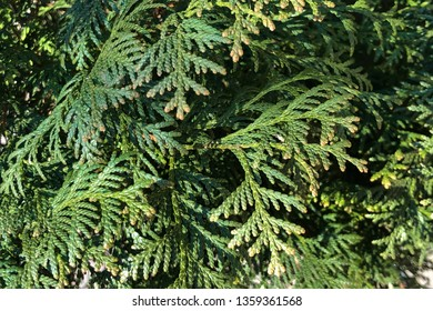background of green branches of the tree thuja, selective focus. Platycladus orientalis, also known as Chinese thuja, Ori