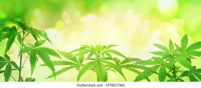 Background from green cannabis plants in summer