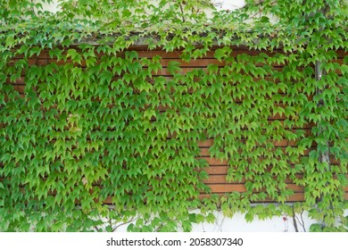 Background: green creeper on an old concrete stone wall with wood planks