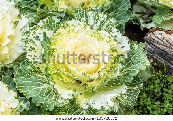 background of green decorative cabbage