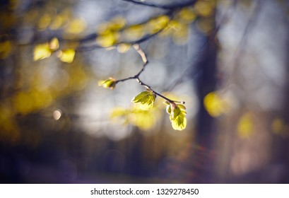 Background with green escapes on linden bush branches in the spring.