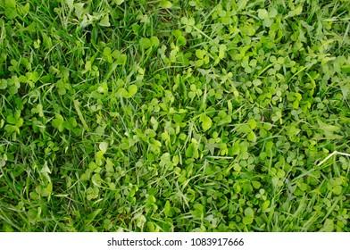Background of green grass. Green grass