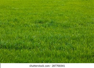 Background of a green grass.  Green grass texture