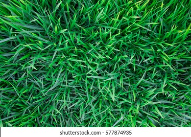 Background of a green grass. Green grass texture Green grass texture from a field
