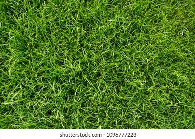 Background of green grass. Green grass texture top view closeup. Fresh lawn.