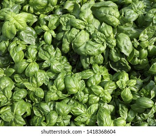 background of green leaves of Basil Plants for sale in the mediterranean country