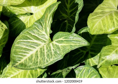 Background of green leaves, light and photosynthesis of plants, nature wallpapers