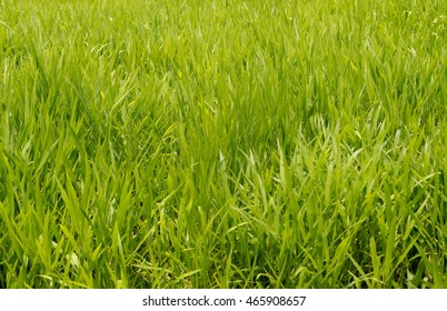 Background of green Pasture Rye grass field for horse feeding