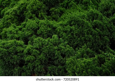 Background with green pine,Fresh green pine leaves, Refreshing green background