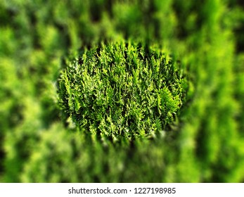 Background, green plant with focus in the shape of an ellipse, the environment of a clear ellipse is blurred.