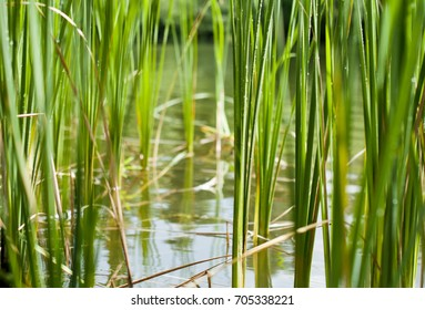 Background of green plants, reed in water, concept of ecology